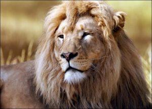 Λιοντάρι σε ήσυχες στιγμές